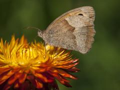 Un petit brun (Titole) Tags: papillon butterfly titole nicolefaton everlastingflower immortelle orange brown