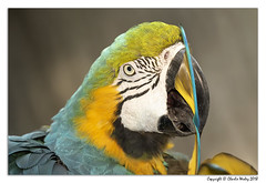 Got It (wesjr50) Tags: parrots canon eos 7d mark ii ef100400mm f4556l is usm parrot captive macaw feathers flash photography nik topaz photoshop cc