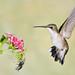 Proceed with caution! (adbecks) Tags: strobist flash hummingbird nikon d500 300 pf action flight