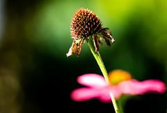 6M7A3649 (hallbæck) Tags: plante blomst fiori flore vissen afblomstret verblichen délavé fiorisbiadito desbotada flormarchita efterår fall autumn ef100mmf28lmacroisusm