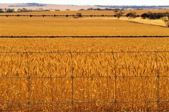 Fence, Field and Farmland, Yorke Peninsula, South Australia (Red Nomad OZ) Tags: australia southaustralia portclinton yorkepeninsula farm agriculture field rural country countryside line crop wheat