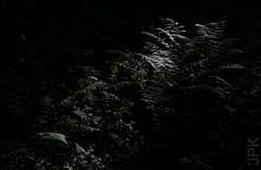 How dark is your understory? (koperajoe) Tags: woodland dim ferns moody understory forestfloor dark