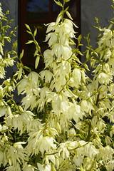 _DSC1340 Yucca (wdeck) Tags: yucca flowersadminfave