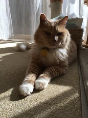 Norio's Sunbeam (sjrankin) Tags: 23september2018 edited hokkaido japan animal cat norio kitahiroshima sun sunlight sunbeam floor carpet carpettiles afternoon curtains window