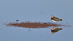 Lapwing island reflection (ctrolleneos) Tags: canon80d 100400 rspb titchwellmarsh norfolk lapwing