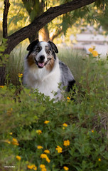 Evening Walk (Jasper's Human) Tags: aussie australianshepherd dog bush flowers tree