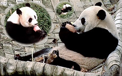 Bei Bei (Mom and Dad must be eatin' their fruities too cuz I can hear 'em slurpin' away.) 2018-10-09 at 13.29–.44.51 PM (MyFoto:)) Tags: ccncby pandas cub endangered vulnerable beibei meixiang tiantian smithsonian nationalzoo eating licking fruitie hammock