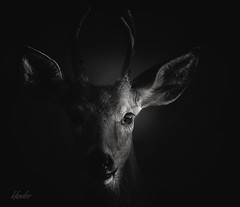 Prince of the forest (Nutzy402) Tags: deer buck nebraska blackandwhite animal antlers omaha