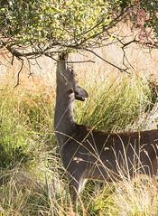 Deer! (Anne Richardson) Tags: deer mammal arne dorset nature wildlife