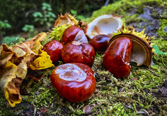 Conkers (Simon McCabe) Tags: autumn nature conkers colour red shell nuts horse chesnut