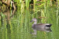K32P7387c Gadwall, Lackford Lakes, September 2018 (bobchappell55) Tags: lackfordlakes suffolk bird wild nature wildlife water gadwall anasstrepera