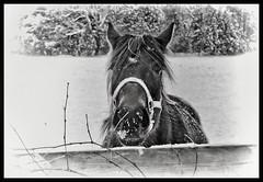 Snow Horse (jauza1) Tags: horse cheval snow winter bw blackandwhite noireblanc