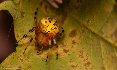 Marbled orb weaver - Harriman State Park (superpugger) Tags: harriman outdoors harrimanstatepark newyork newyorkstate hudsonvalley hiking autumn winteriscoming spider spiders wildlife orbweaver orbweavers marbledorbweaver arachnid arachnids arthropods