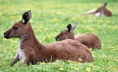 Kangourous (Angelo Petrozza) Tags: adelaide hills cleland reserve wildlife kangourous canguri riserva green verde angelopetrozza 55300f458 south australia