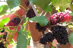 Amora Gigante (Francisco Barnabé Ferreira) Tags: amora gigante fruto árvore tree fruit