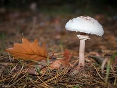 fungus (Thomas Heuck) Tags: pilz mushroom wald forest greifswald herbst autumn olympus em1markii makro macro natur nature