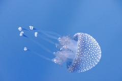 Jellyfish (SCSQ4) Tags: aquariumofthepacific jellyfish longbeach photographersnight