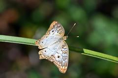 White Peacock (Loxahatchee NWR) (stinkenroboter) Tags: whitepeacock anartiajatrophae butterfly insect loxahatcheenationalwildliferefuge florida