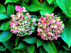 Autumn paints in colors that summer has never seen (RenateEurope) Tags: 2018 renateeurope iphoneography germany autumn hortensien hydrangea flowers flora