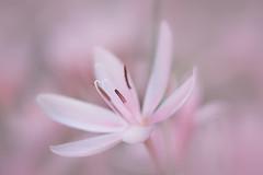 beauté fragile (christophe.laigle) Tags: rose christophelaigle fleur macro nature flower fuji xpro2 xf60mm pink