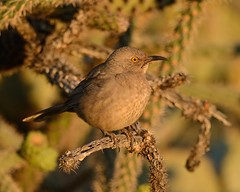 2018-09-28 Green Valley, AZ 3 (JanetandPhil) Tags: 20180910artxaznmvacation birds curvebilledthrasher toxostomacurvirostre nikon nikkor d800 800mmf56 greenvalleyaz