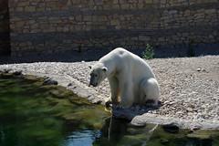 Tallinna loomaaed (Jaan Keinaste) Tags: pentax k3 pentaxk3 eesti estonia tallinn tallinnaloomaaed jääkaru polarbear loomaaed zoo