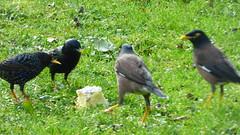 The birds and the cheese (Sandy Austin) Tags: panasoniclumixdmcfz70 sandyaustin massey westauckland auckland northisland newzealand birds cheese