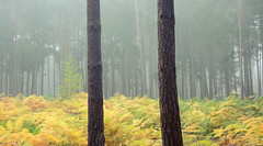 Two and a bit (Simon Verrall) Tags: severals midhurst october sussex woods pine bracken autumn trees tree forest mist fog