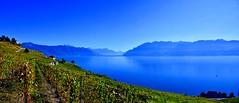 L'or des vignes (Diegojack) Tags: vaud suisse chexbres bleus paysages eau d500 nikon nikonpassion panorama lavaux vignes vignoble montagnes alpes hautesavoie groupenuagesetciel