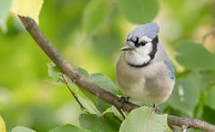 Geai bleu // Blue Jay (Keztik) Tags: geai bleu blue jay cyanocitta cristata oiseau bird animal wildlife nature nikon d7500