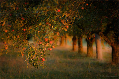 red apples (klaus.huppertz) Tags: frankenbach tree baum natur nature outside outdoor apfel äpfel apple rot red autumn fall herbst abend evening licht light nikon nikond850 d850 tamron greatphotographers