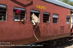 180927_25 (The Alco Safaris) Tags: goram ghat langur monkeys train indian railways metre gauge