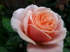 (sebi.dengler) Tags: outofcamera noedit rose flower 35mm nikon