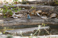 Southern Cordonbleu aka Blue Waxbill (SimnKaff) Tags: africa bluewaxbill rufiji selousgr southerncordonbleu tanzania