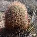California Barrel Cactus