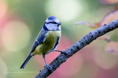 Blaumeise/Blue Tit in autumn (KevinBJensen) Tags: vögel singvögel tiere no person nature natur naturfotografie photograph pics sigrun brüggenthies deutschland germany dortmund wildlife wild animal wildvogel