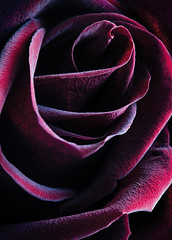 Crimson Queen (AJWeiss71) Tags: rose roses flower floral red crimson macro closeup mood moody dark darkness lowkey abstract nature velvet velvety amyweiss