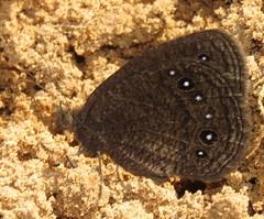Godartiana astronesthes (Birdernaturalist) Tags: bolivia butterfly lepidoptera nymphalidae richhoyer satyrinae satyrini