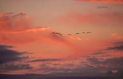 On the Way to Africa (Gammalong) Tags: red vaasa bird cloud crane pentaxart sky sunset trana vasa