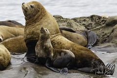 steller sea lion-7111 (pmbell64) Tags: capitalg britishcolumbia canada ca