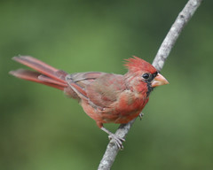 20180922-70D-IMG_5687a Cardinal (Yer Photo Xpression) Tags: ronmayhew canoneos70d northerncardinal red bird male