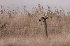 Rough-legged Buzzard (VaughanG) Tags: roughleggedbuzzard raptor buzzard kilnsea migrant sonyrx10m4