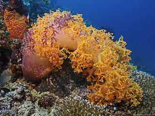 Prickly splendor coral, Stachelige Prachtkoralle (Dendronephthya sp)II
