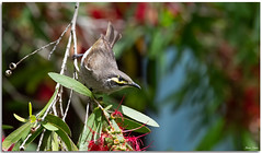 Yellow-faced honeyeater (Bear Dale) Tags: scientific name lichenostomus chrysops yellowfaced honeyeater yellowfacedhoneyeater ulladulla southcoast new south wales shoalhaven australia beardale lakeconjola fotoworx milton nsw nikon d850 photography framed nature nikond850 nikkorafs200500mmf56eedvr nikkor afs 200500mm f56e ed vr bird bottlebrush flowers migration leaves tree