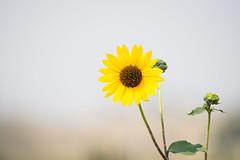 Yellow Flower (notnyt) Tags: flower roadtrip sal70400g2 2017 bokeh yellow colorado a99