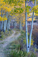 Walking Among the Aspen (Kirk Lougheed) Tags: colorado crystallake mearstrail ouraycounty sanjuanmountains usa uncompahgrenationalforest unitedstates aspen autumn fall landscape outdoor path trail tree