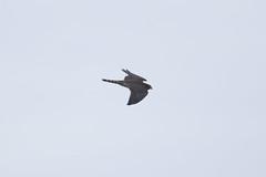 Merlin at Vik S24A9657 (grebberg) Tags: vik klepp rogaland norway 2018 august merlin falcocolumbarius falco falcon raptor birdofprey