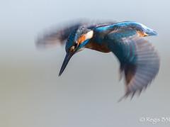 Façon parapluie ;-) (Régis B 31) Tags: alcedoatthis alcédinidés commonkingfisher coraciiformes martinpêcheurdeurope ariège bird domainedesoiseaux mazères oiseau vol explore