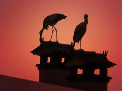 IMG_0303 sunset storks (pinktigger) Tags: stork cigüeña storch cicogne ooievaar ciconiaciconia cicogna cegonha bird nature fagagna feagne friuli italy italia oasideiquadris animal outdoor roof chimney sunset silhouette