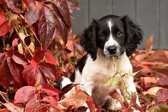autumn puppy (mulligan.janice) Tags: springerspaniel puppy cute autumn gundog